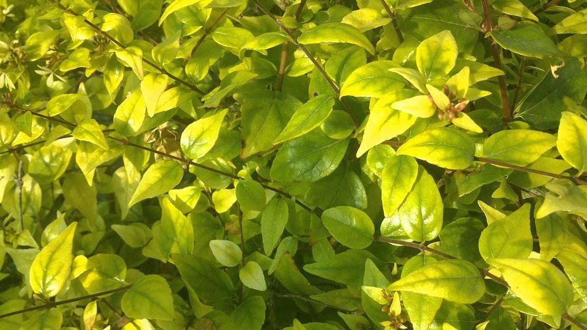 hojas con falta de hierro