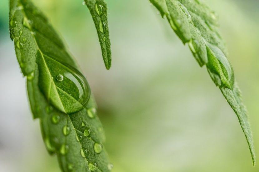 Detalle e las hojas de la planta de la Cannabis sativa