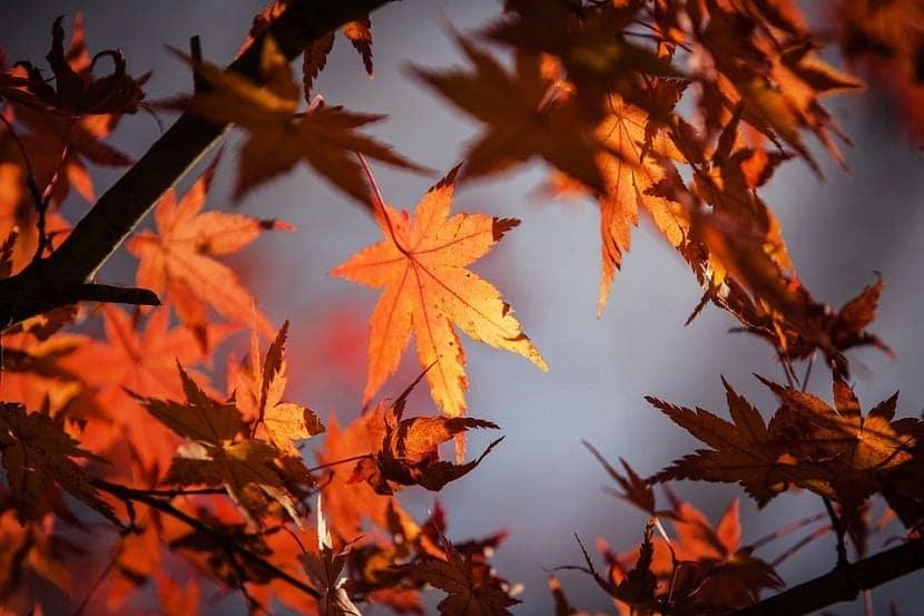 hojas del arbol del arce japones