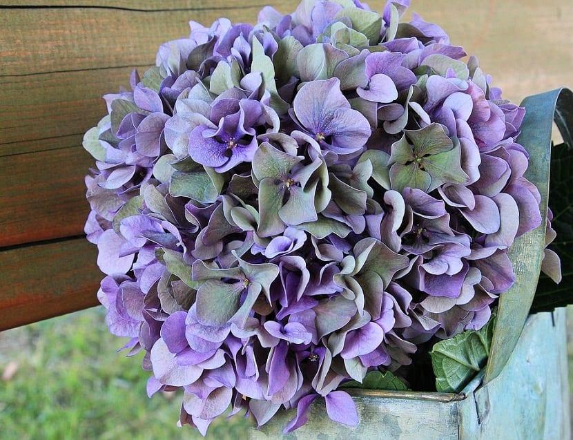 hortensia como como planta acidofila