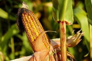cultivar maiz