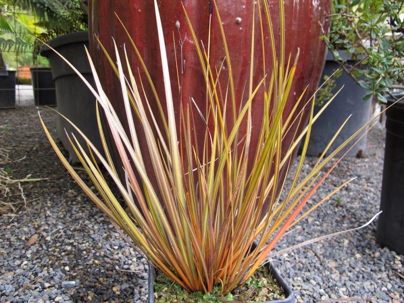 Planta de Libertia ixioides
