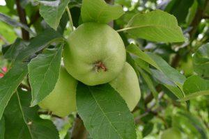 El manzano se abona en primavera y verano