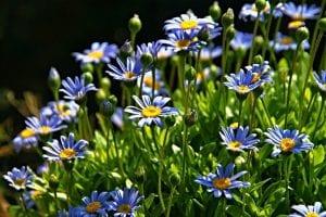 margaritas azules y felicia