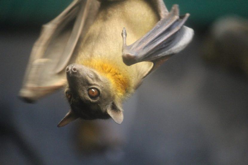 Murciélago adulto