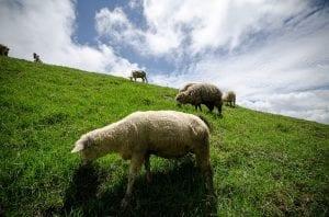 el estiercol de las ovejas es el mejor que existe