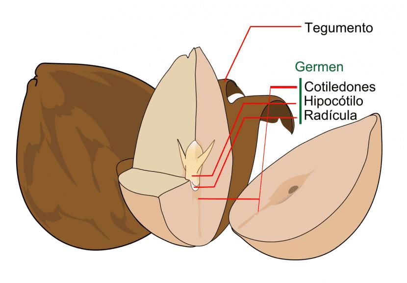 Partes de una semilla de aguacate