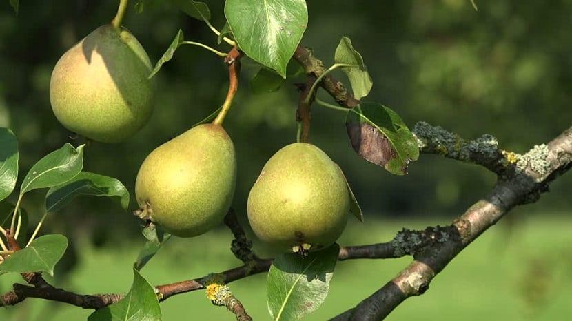 las peras son muy demandadas en todo el mundo