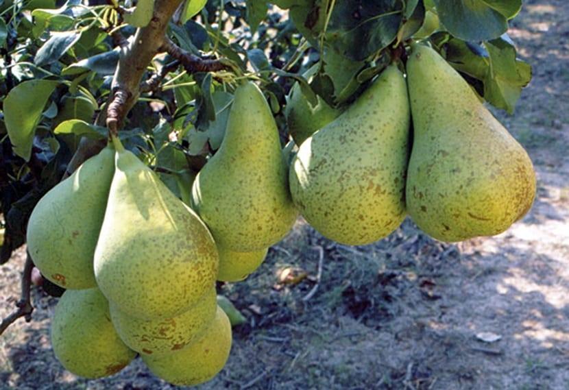 las peras son muy preciadas y consumidas en todo el mundo