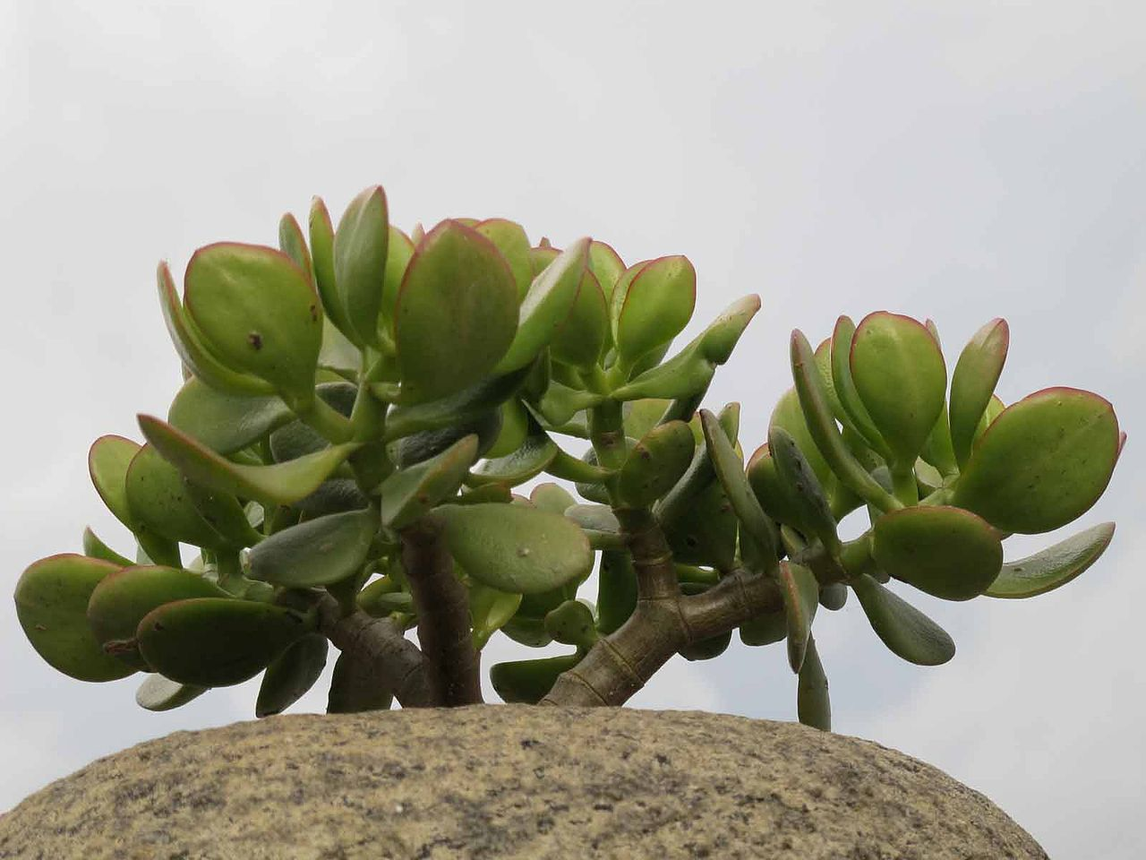 La planta de jade es un arbusto