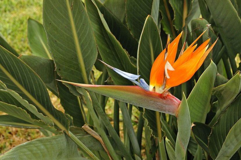 Planta Strelitzia reginae