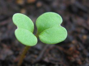 Los cotiledones son hojas embrionarias