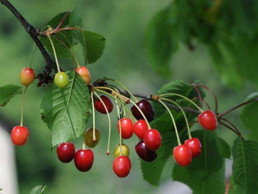 Frutos del Prunus cerasus