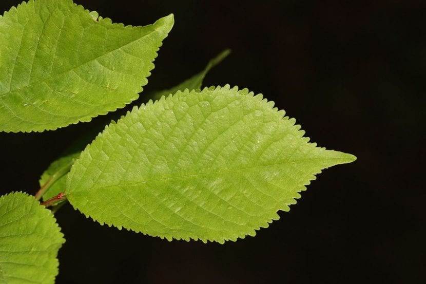 Hojas del Prunus cerasus