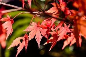 rama de arbol del arce japones
