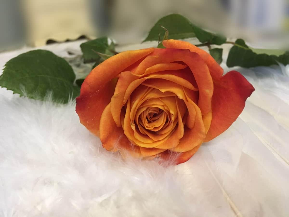 Las flores de las rosas se secan bien y rápido en libros