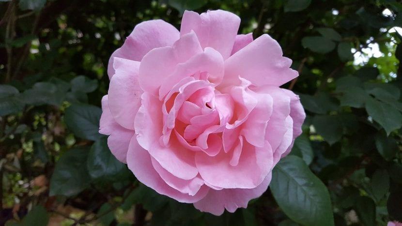 Rosal de color rosa