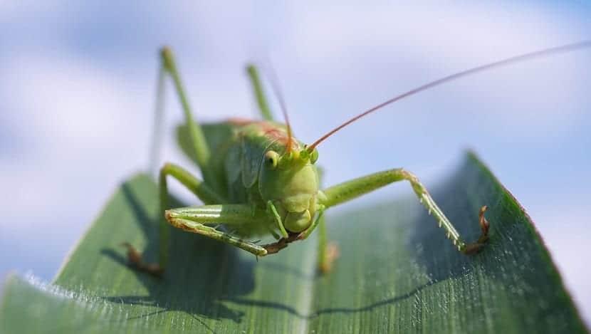 insectos que se alimentan de maiz
