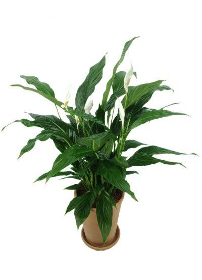 El espatifilo es una planta tropical