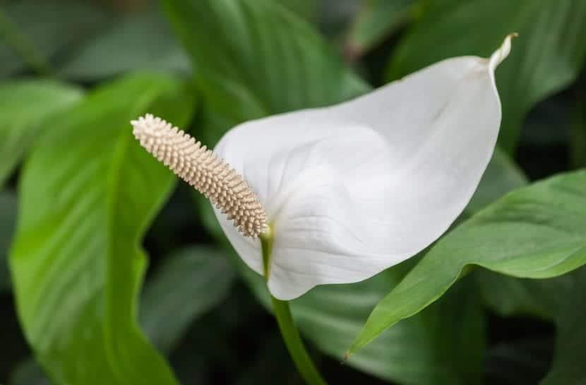 Inflorescencia del Spatiphyllum