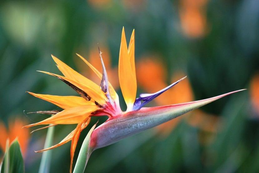 Strelitzia reginae en flor