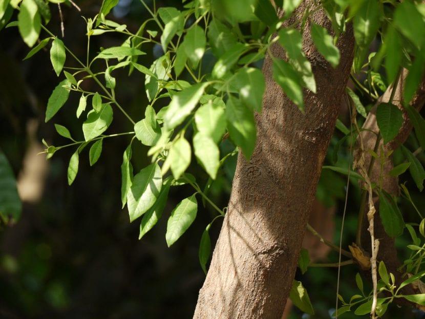 Vista del tronco de sándalo