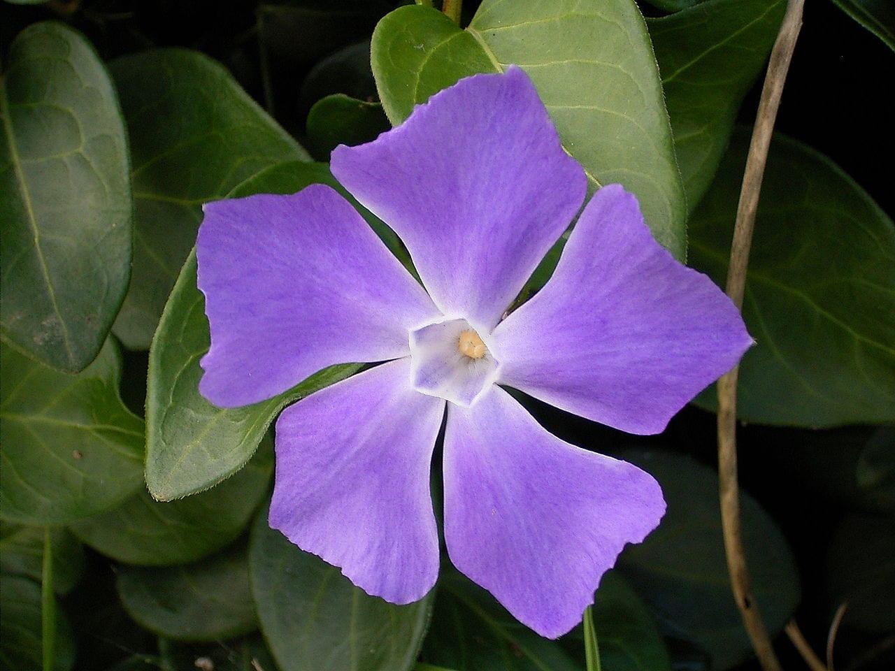 Planta de Vinca major en flor