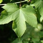 Hoja de Acer pseudoplatanus