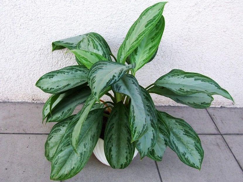 Planta de Aglaonema commutatum