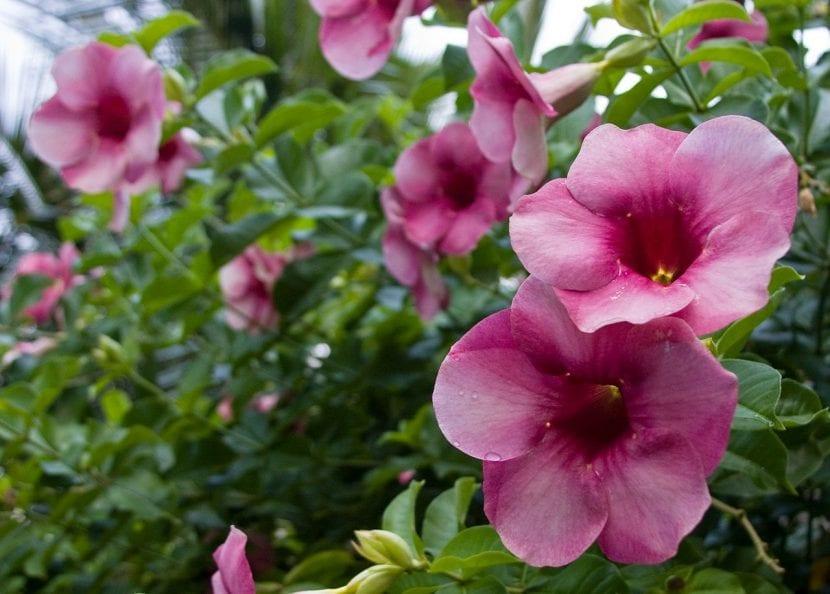 Hojas y flores de la Allamanda blanchetii