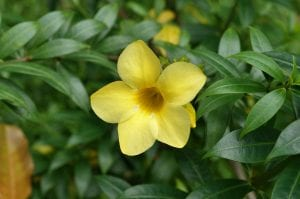 Una preciosa planta de Allamanda cathartica en flor