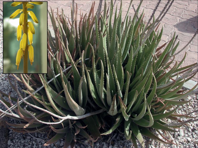Aloe vera, planta y flores