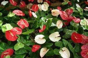 Grupo de Anthurium en flor