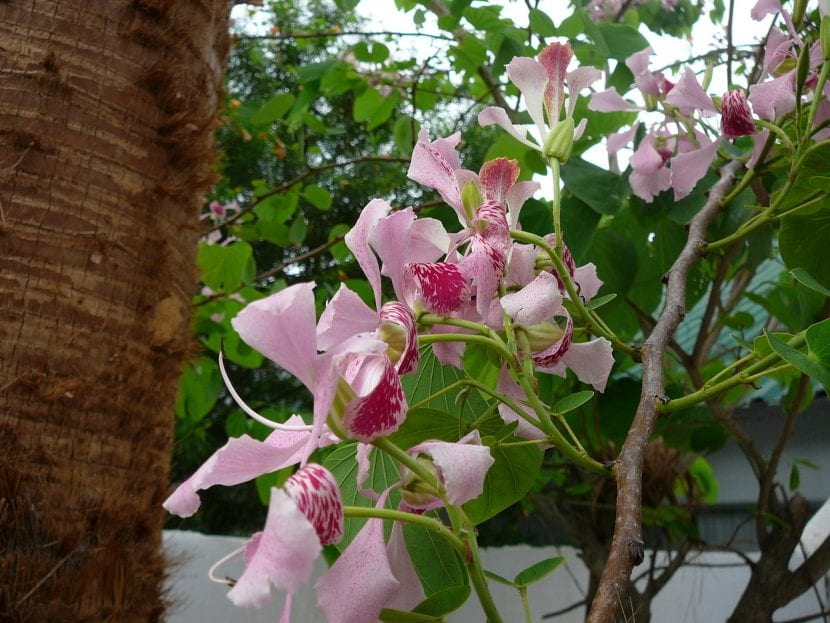Grupo de flores de la Bauhinia monandra