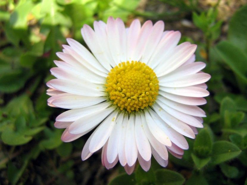 Flor de la planta Bellis perennis