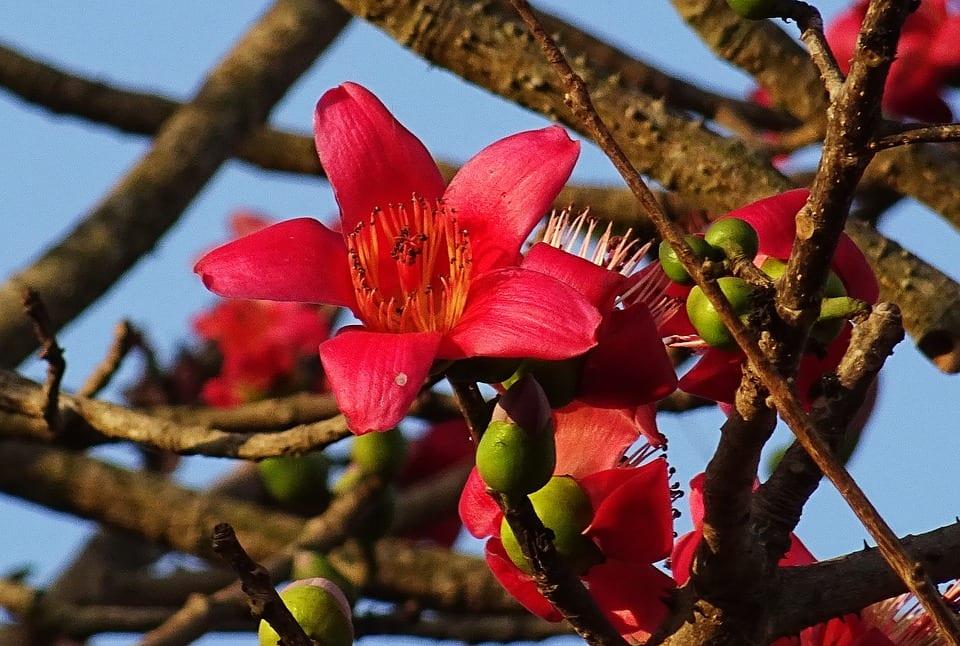 Flor de Bombax ceiba