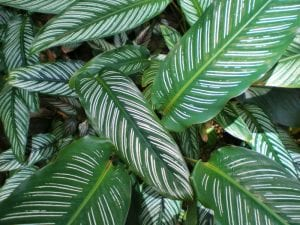 Vista de las hojas de Calathea ornata