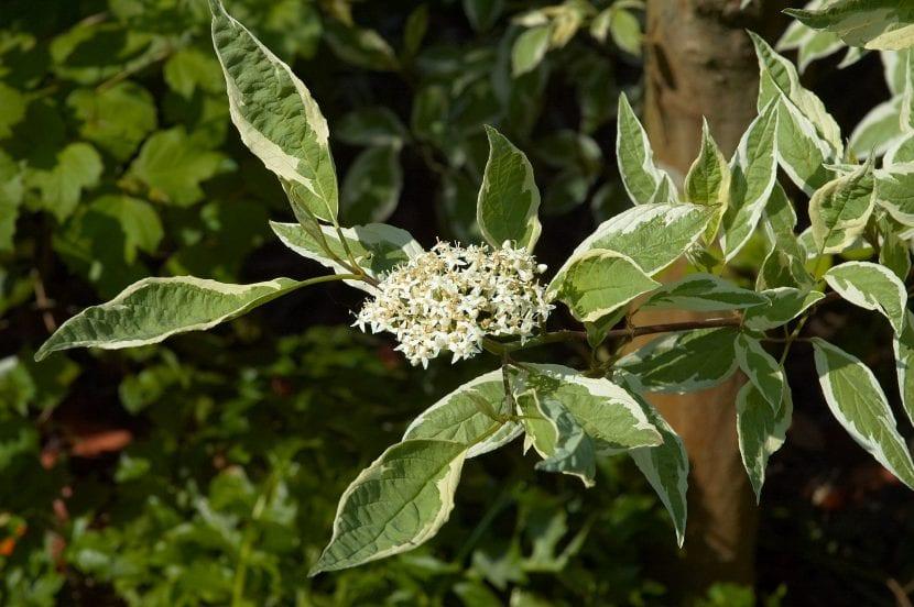 Cornus alba 'Elegantissima', hojas y flores