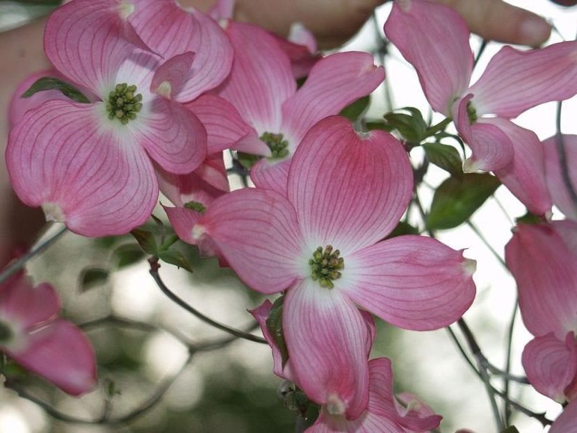 Flores del Cornus florida 'Rubra'