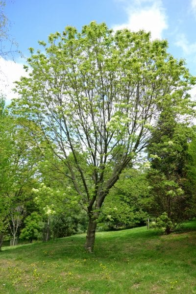 Árbol de Fraxinus ornus