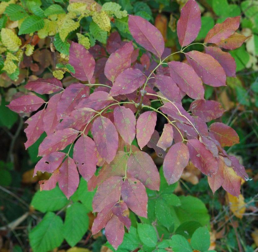 Fraxinus ornus en otoño