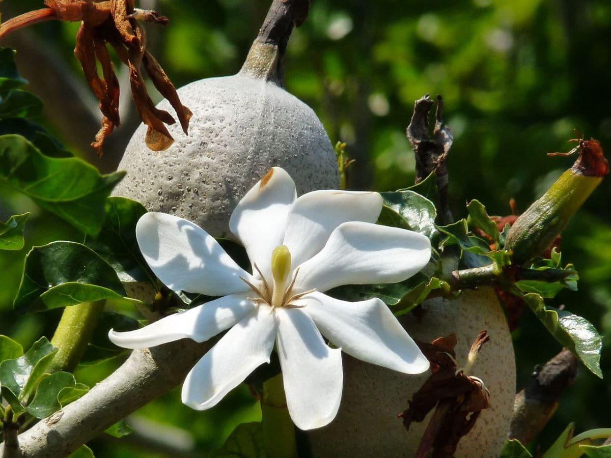La Gardenia thunbergia es una planta de flores aromáticas