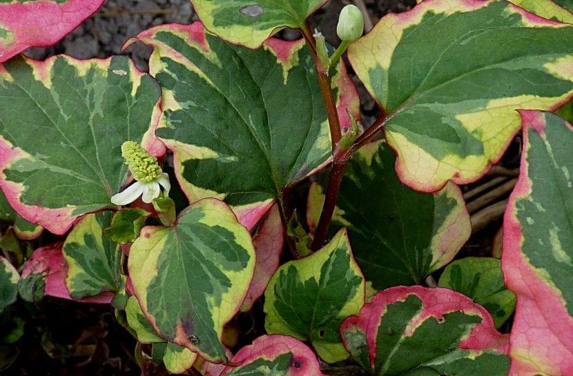 Planta de Houttuynia cordata 'Chameleon''
