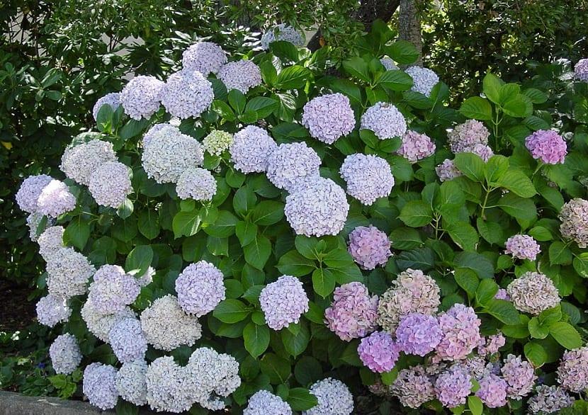 las hortensias florecen en el mes de julio