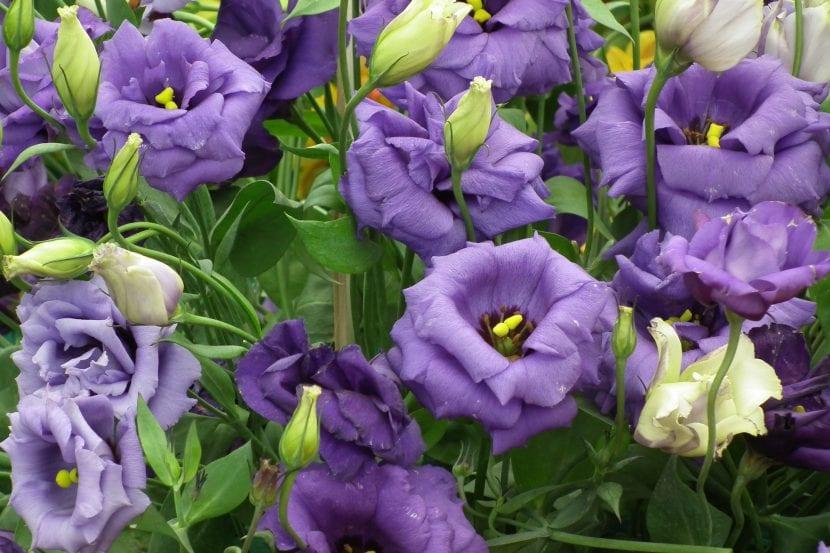 Flores lilas de Lisianthus