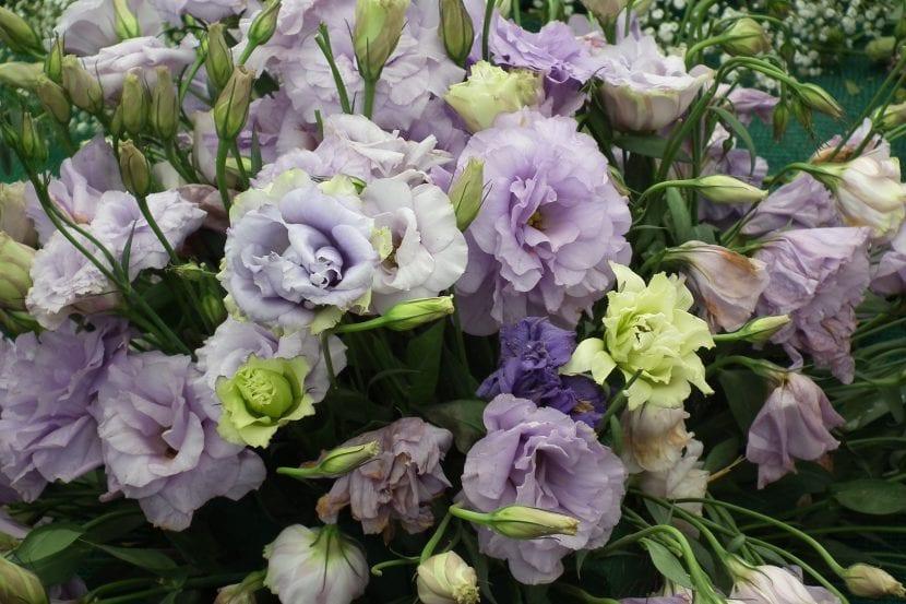 Plantas de Lisianthus en flor