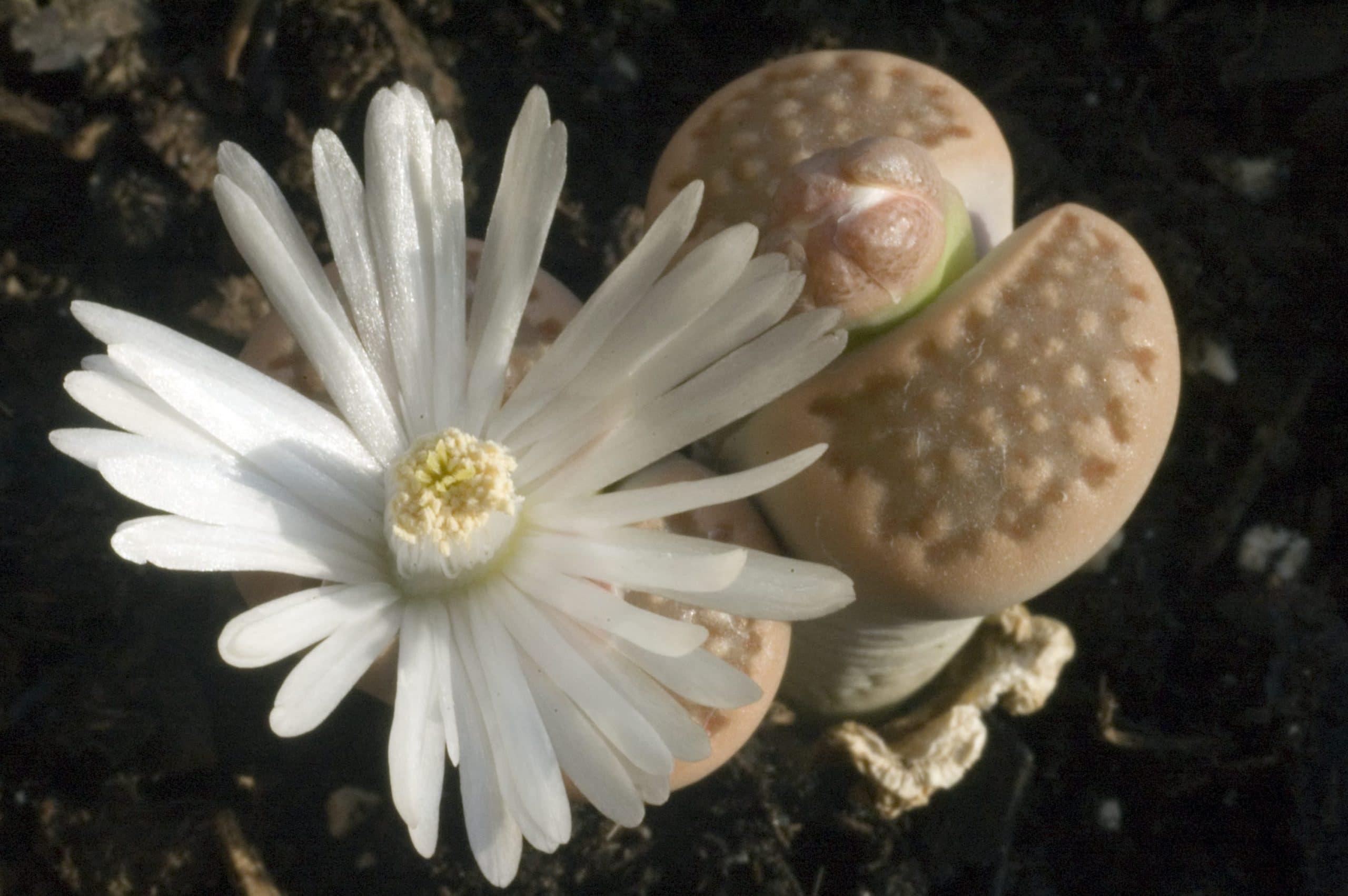 Lithops sp en flor