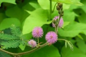 Flores de Mimosa pudica