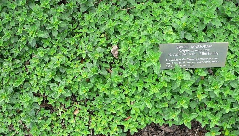 Es parecido al orégano y es una planta anual perenne