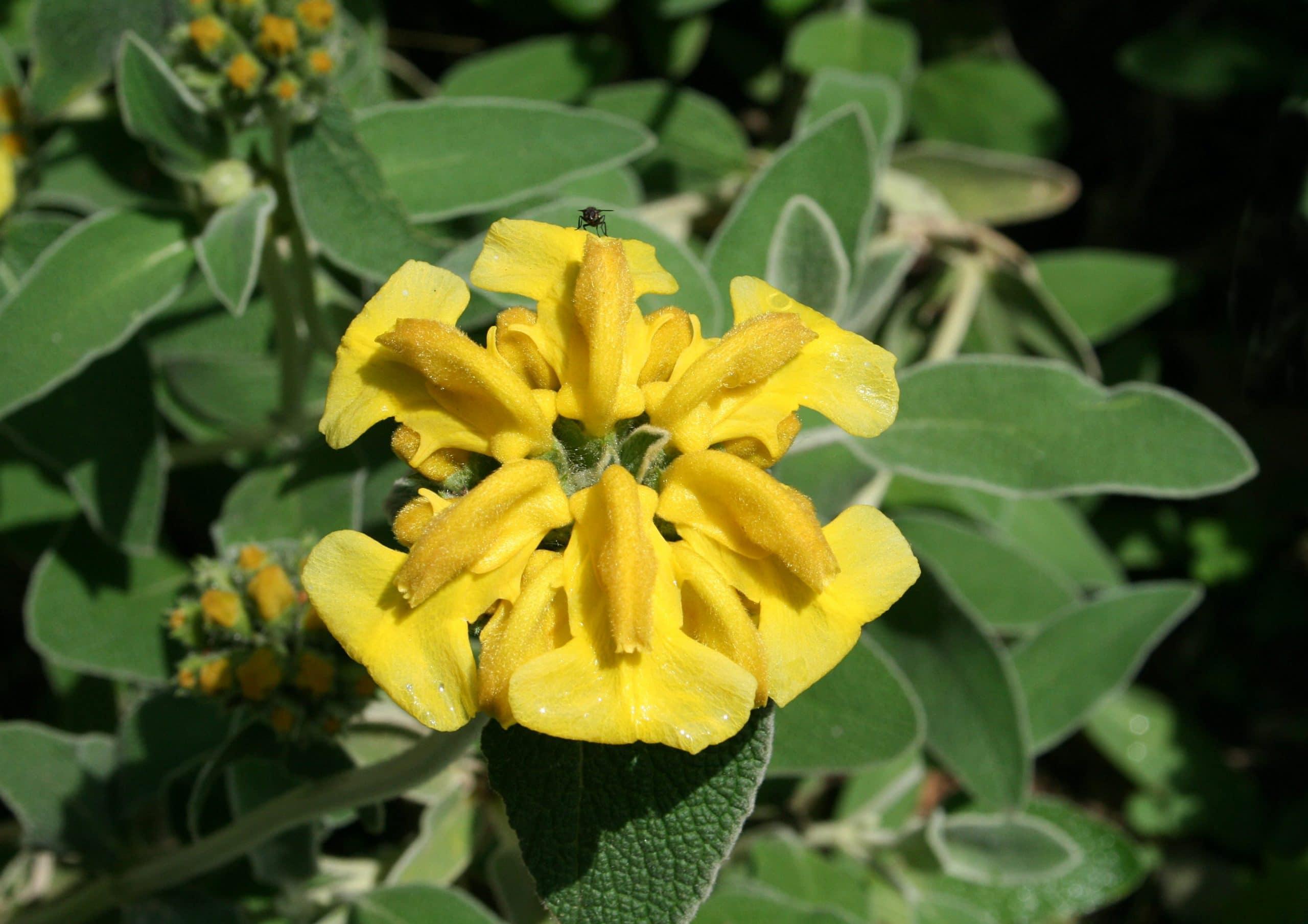 Flore de la planta Phlomis fruticosa